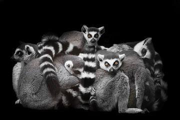 Beaucoup de lémuriens de chat rassemblés dans un tas sur Michael Semenov