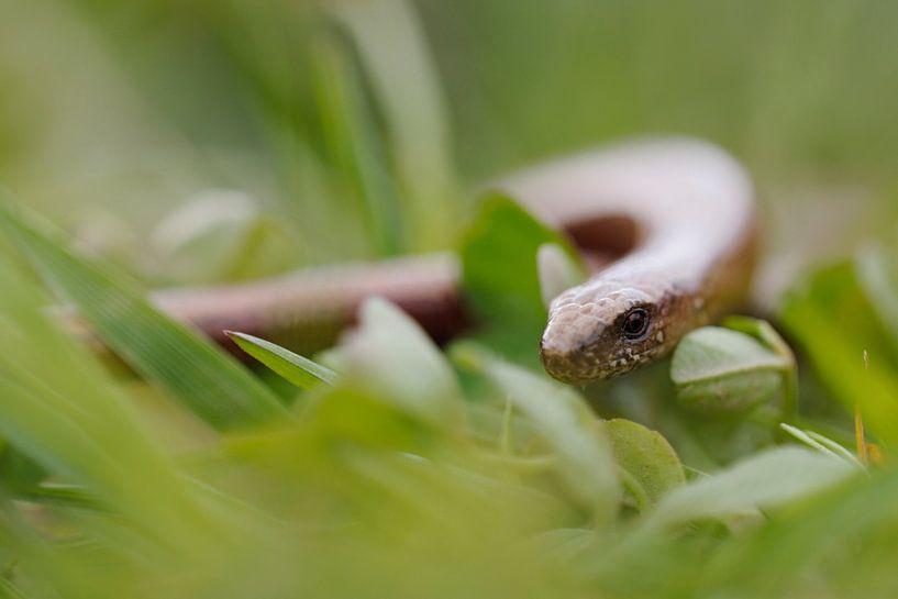 Slow Worm *Anguis fragilis* van wunderbare Erde