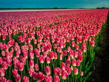 Roze tulpenveld - Holland von Dennis van Berkel