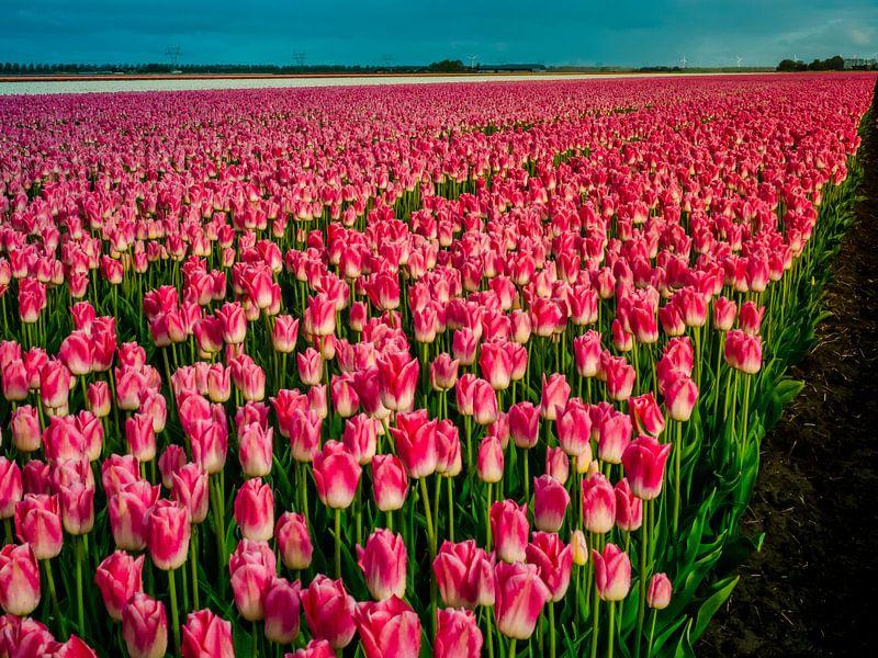 Roze tulpenveld - Holland van Dennis van Berkel