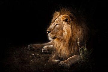La bête est un puissant lion mâle à crinière. sur Michael Semenov