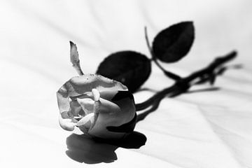 Rose von Gert-Jan Kamans
