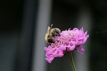 Een honingbij op een bloem van Pim van der Horst