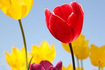 prachtige bloeiende tulpen met een blauwe achtergrond van Angelique Nijssen