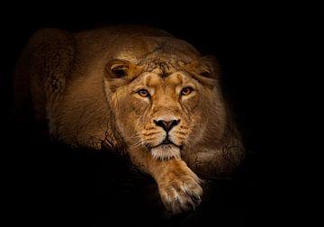 leeuwin in de nacht. leeuwin mooie grote kat ligt imposant en kijkt naar je. nachtelijke duisternis, van Michael Semenov