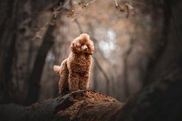 Warmfarbenes Porträt eines Pudelhundes von Lotte van Alderen