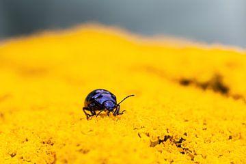 Blauw beestje in het geel van Annika Westgeest Photography
