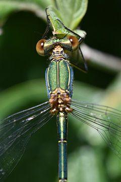 schöne grüne Kleinlibelle von Daphne van der straaten
