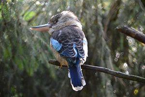 Lachvogel, Kookaburra, IJsvogel blauw vogel van Ronald H
