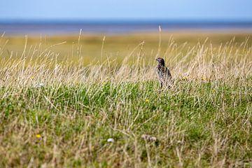 Ster in het gras op de dijk buiten Westerhever van Alexander Wolff