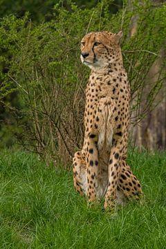 Gepard. Acinonyx jubatus von Gert Hilbink
