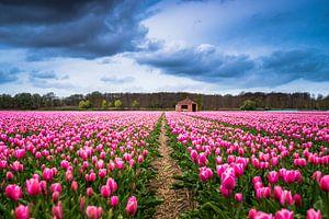 Een tulpenveld bij Lisse 'Nederland'  van