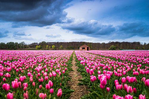 Een tulpenveld bij Lisse 'Nederland'