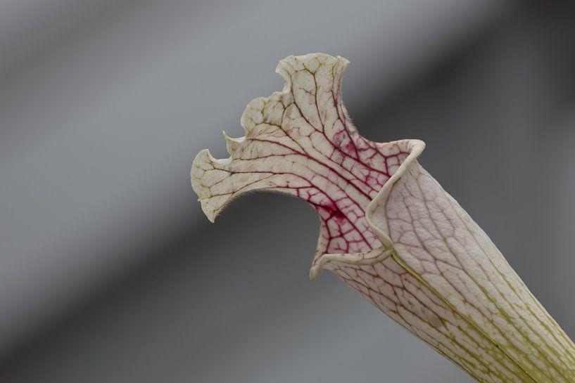 Kelk van vleesetende plant van Simone Meijer