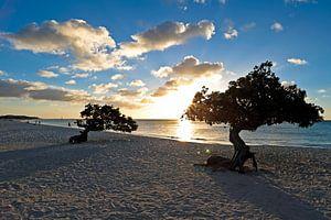 Dividivi bomen op het strand in Aruba bij zonsondergang