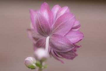 achterkant van roze aster van Tania Perneel