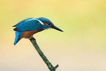 IJsvogel op tak sur Ronald Kamphuis