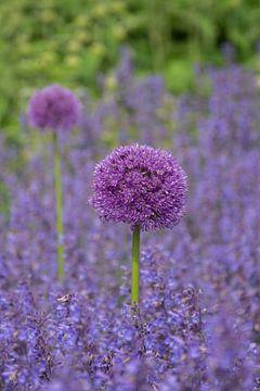 Allium, een sierui van Yvonne van der Meij