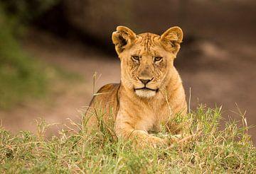 Lion cub van Claudia van Zanten