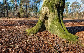 Close-up van de voet van een oude beukenboom van Ruud Morijn