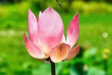 Heilige Lotus/Indische Lotus van Eduard Lamping