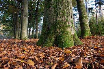Herfstbladeren in oerbos van Robin Jongerden