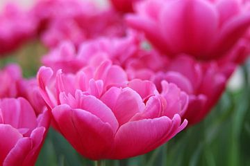 roze bloem van laura van klooster