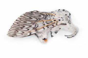 Hermelijnvlinder von Leo JR Boon