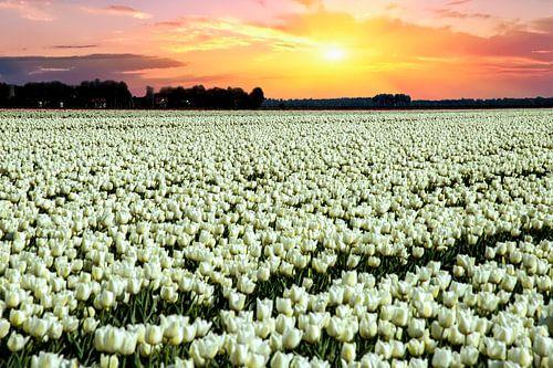 Witte tulpen met zonsondergang van