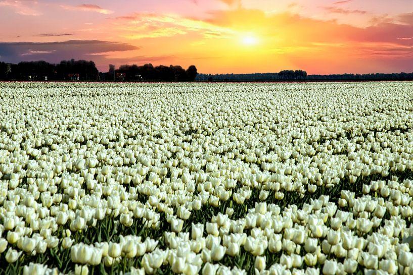 Witte tulpen met zonsondergang van Gert Hilbink