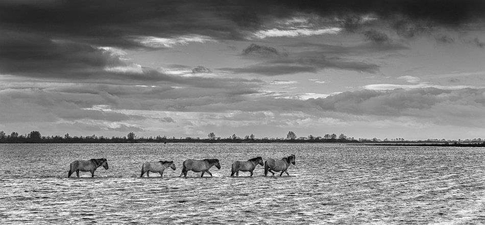 Konikpaarden in het Lauwersmeergebied tijdens storm met hoogwater.