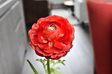 Red ranunculus van Femke Sijtsma