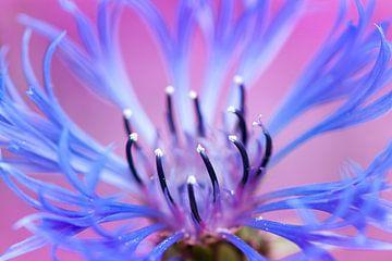Korenbloem (Centaurea cyanus) van Tamara Witjes
