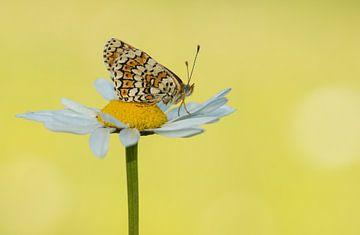 Veldparelmoer vlinder sur