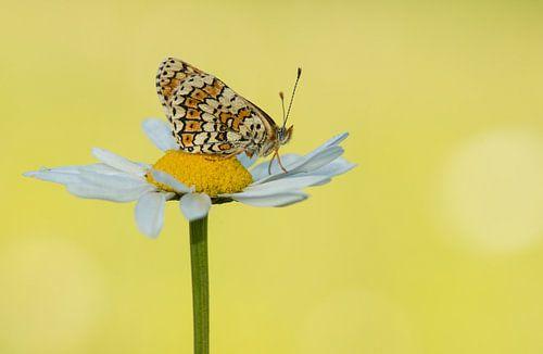 Veldparelmoer vlinder