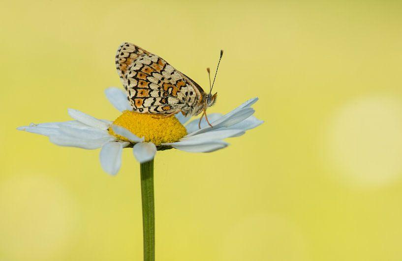 Veldparelmoer vlinder van Elles Rijsdijk