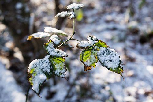 snowy wood sur