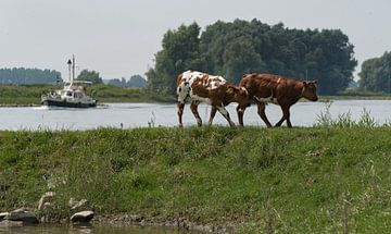 Koeien op de uiterwaarden von Cilia Brandts