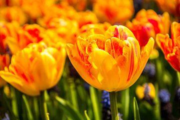 Fleurige tulpen van Stedom Fotografie