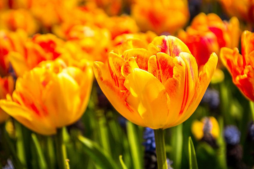 Fleurige tulpen van Koop je Canvas