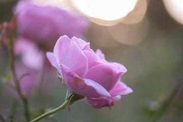 bokeh rosa Rose von Tania Perneel