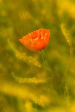 Bloeiende klaproos in de zomer van Moetwil en van Dijk - Fotografie