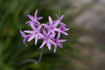 Paarse bloemen von Tessa Louwerens