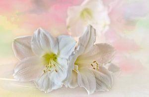 Witte Amaryllis in pastel van Ellen Driesse