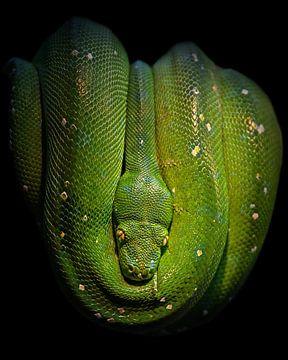 Groene boom Python van Patrick van Bakkum