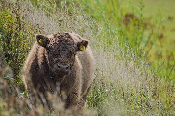 Galloway-Rind auf der Heide von Daniëlle Beckers