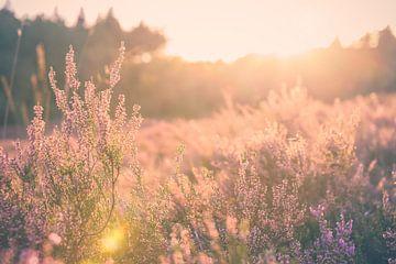 Atmosphärischer Sonnenuntergang auf der Heide von Fotografiecor .nl