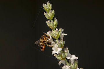 Megachile centuncularis sur Tanja van Beuningen