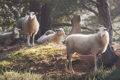 Kudde schapen op de Veluwse heide