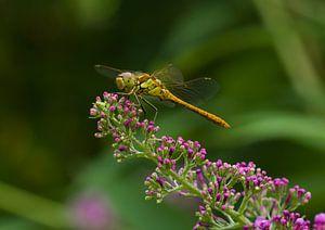 Groene Heidelibel op Vlinderstruik van